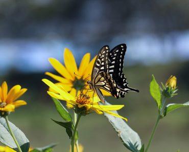 attract butterflies to the garden