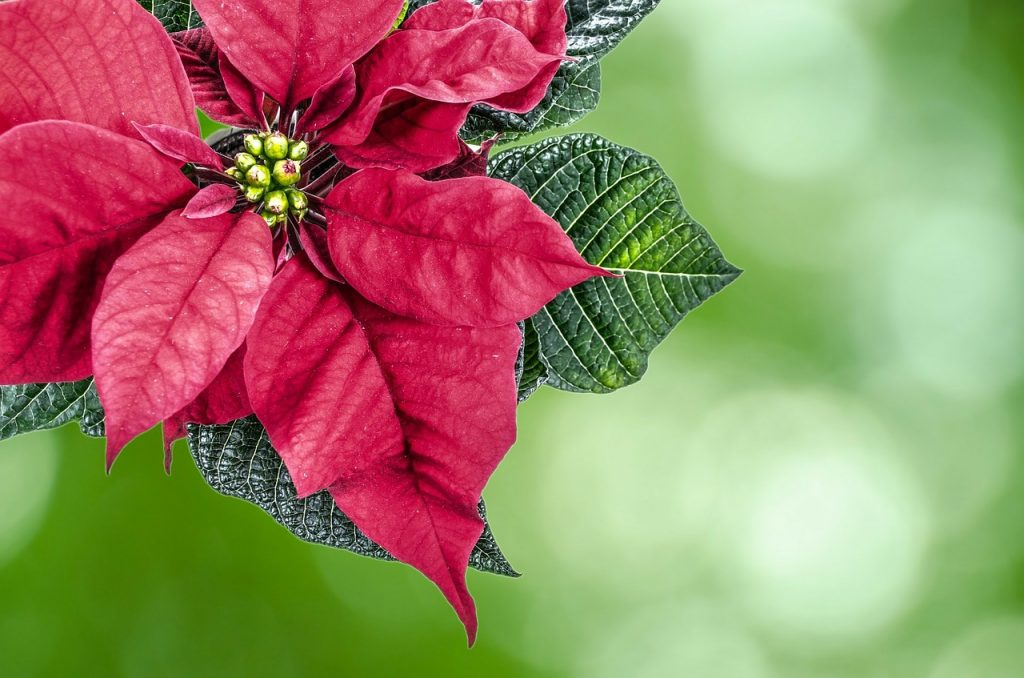 How To Get a Poinsettia To Turn Red