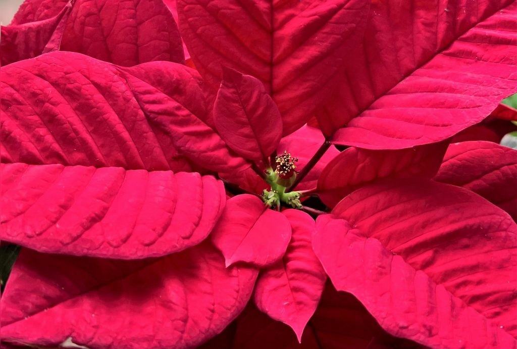 How Do You Force a Poinsettia To Turn Red?