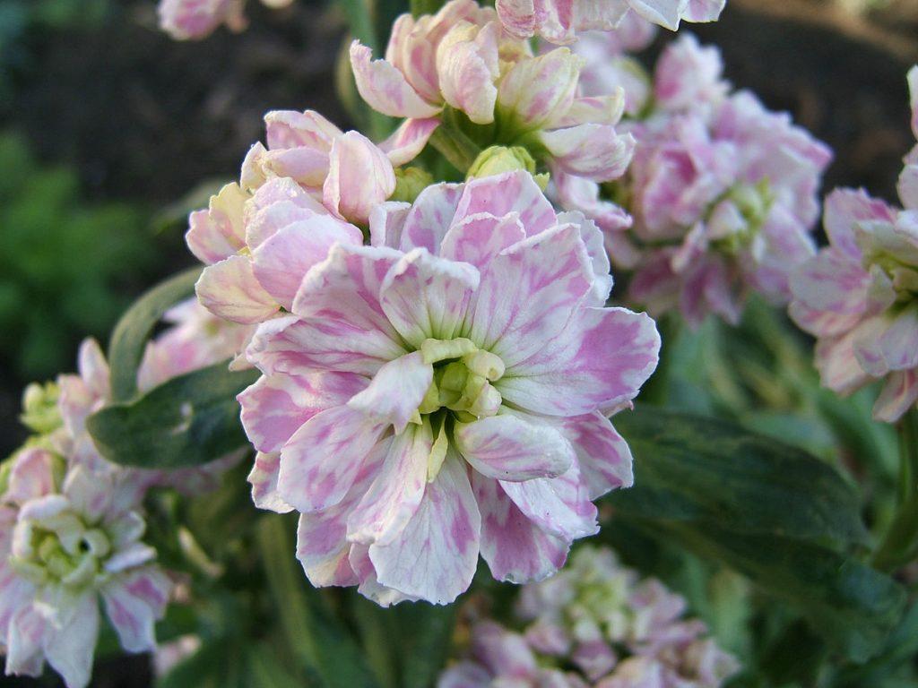 stock flowers