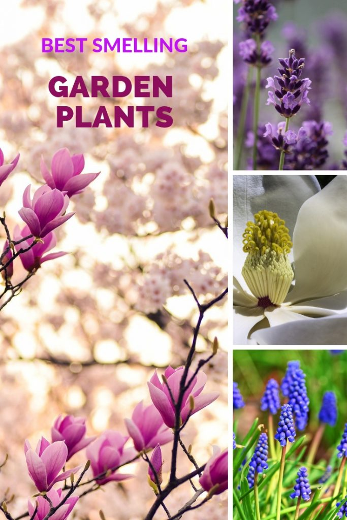 What are the best heavily scented plants for your garden? We've listed ten blooming trees, shrubs, and herbs that will make your garden smell great. #flowers #fragrantflowers #scent #fragrance | fragrant garden flowers | heavily scented plants | best smelling plants