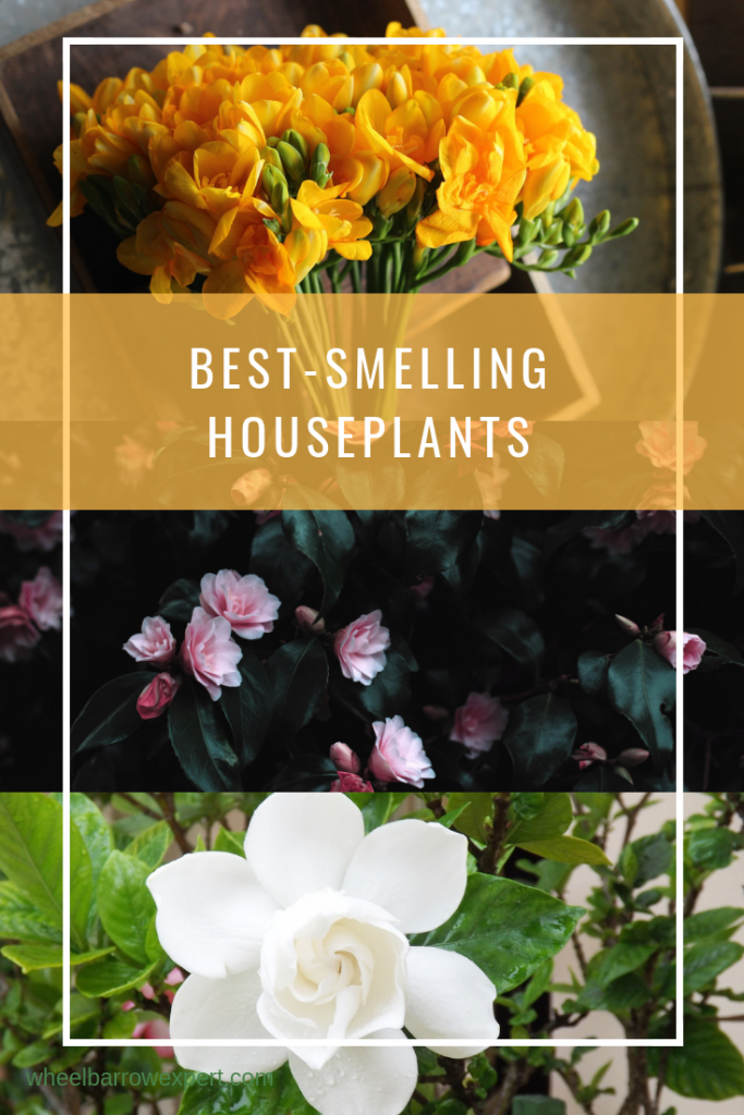 What are the best scented plants for pots? This list of plants with fragrant flowers and leaves includes ten plants that are perfect for container gardening. Make your house and garden smell great! #houseplants #indoorplants #scentedplants   scented plants indoors   scented houseplants   container gardening   potted plants   fragrant plants