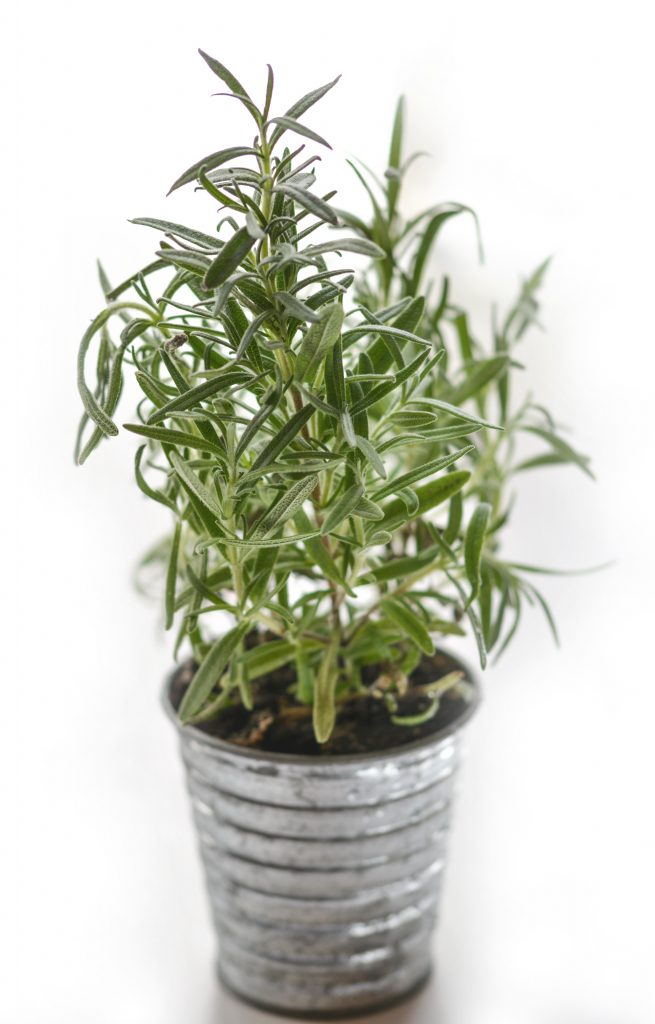 grow rosemary in a pot