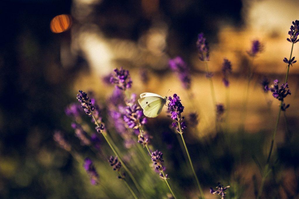 lavender scented plant