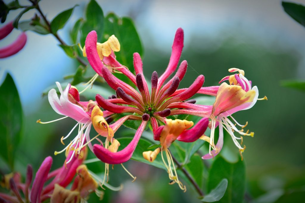 honeysuckle bloom