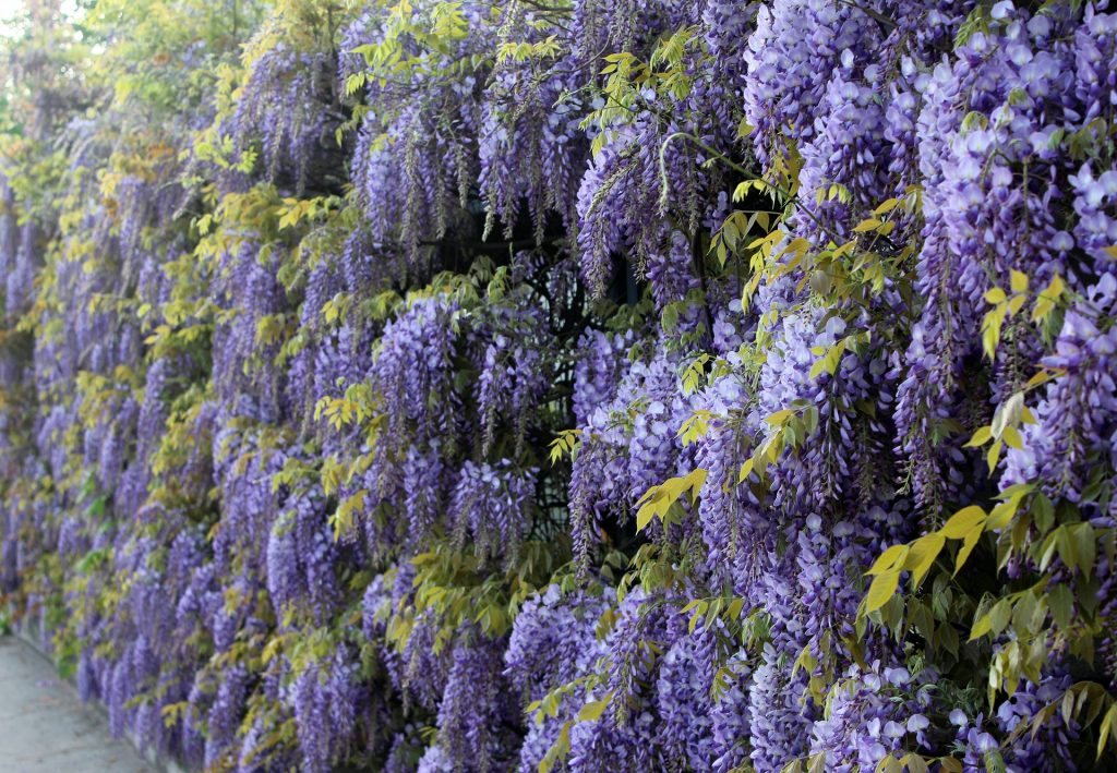 blue-rain-wisteria