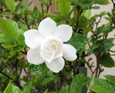 gardenias are good smelling plants to grow on pots