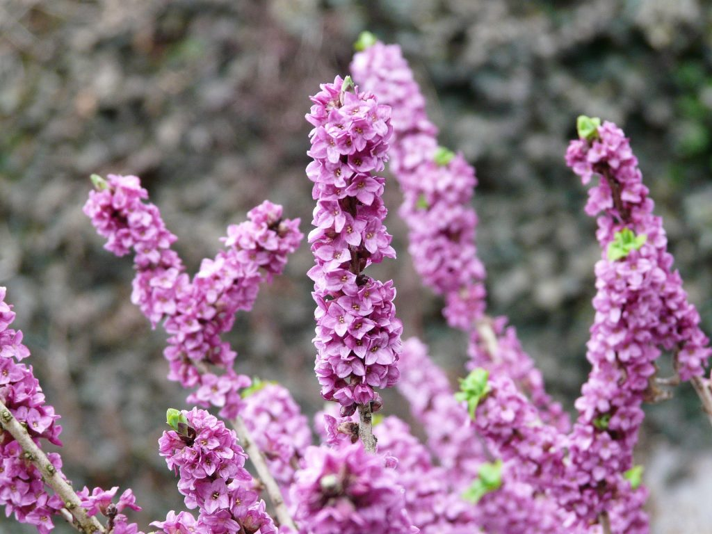Daphne is a strong scented plant perfect for container gardens