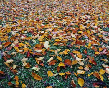 leaves on grass that need a backpack leaf blower