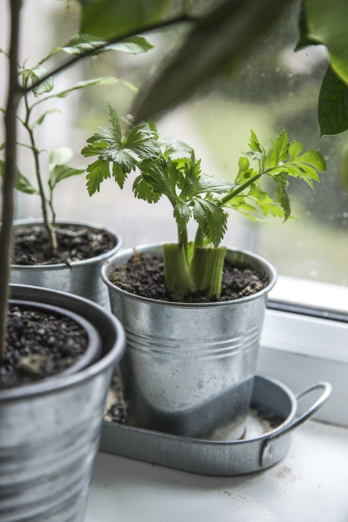 celery growing in a silver pot for indoor garden ideas