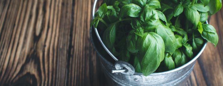 growing herbs indoors basil