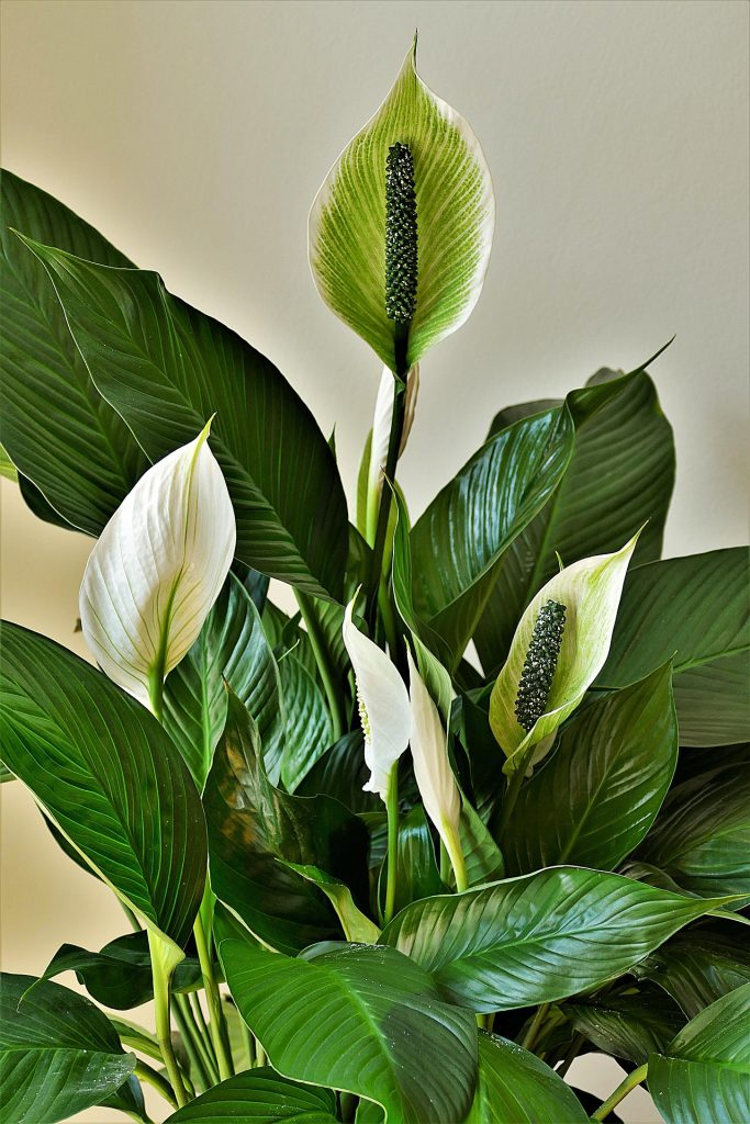 peace lily houseplant for clean air