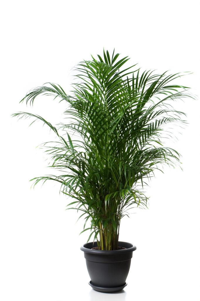nasa clean air plants include bamboo palm