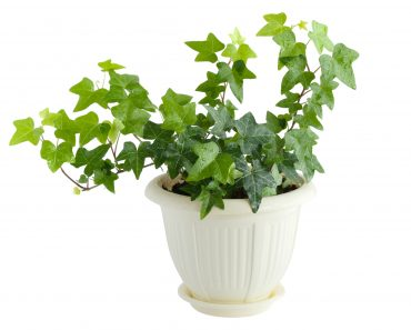 Ivy is a good plant for cleaning the air indoors
