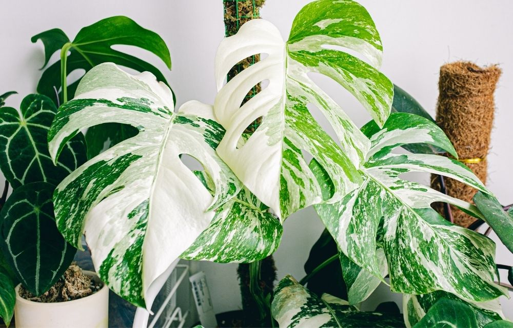 Variegated Giant Monstera is a stylish plant