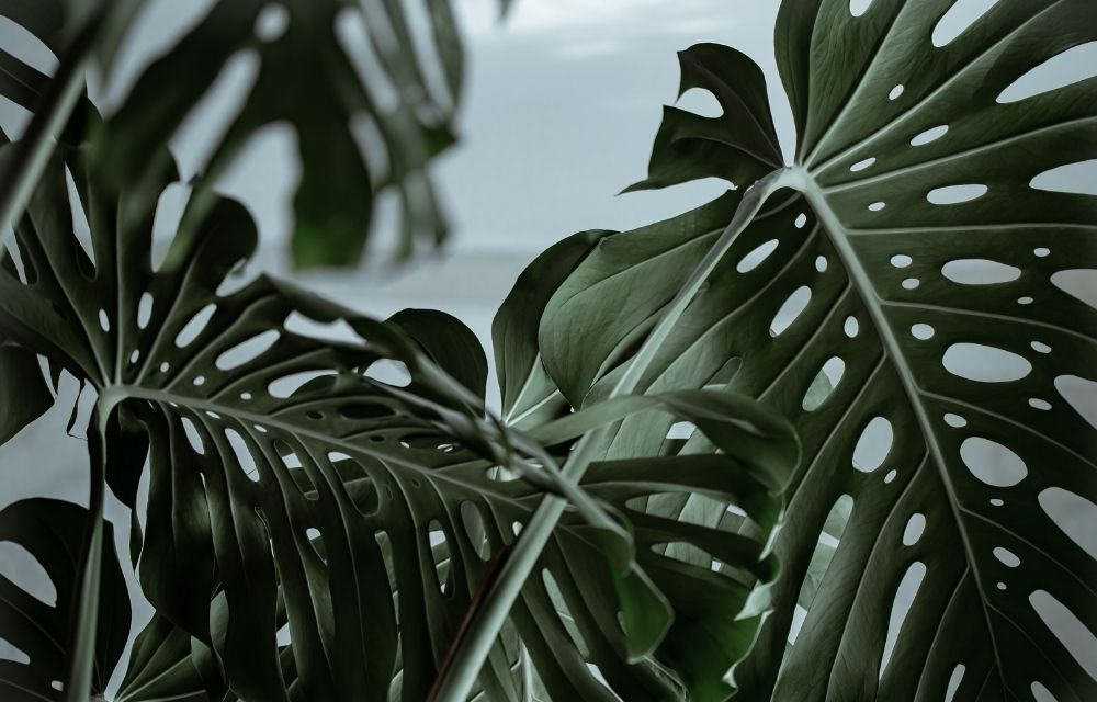 how to choose a type of monstera plant